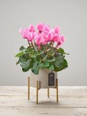 Popping Pink Cyclamen Plant